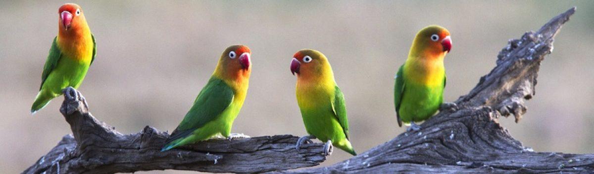 Cosas de agapornis, los coloridos pajaros inseparables.