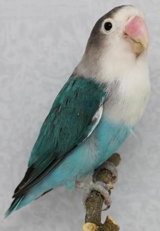 agaporni fischer color azul