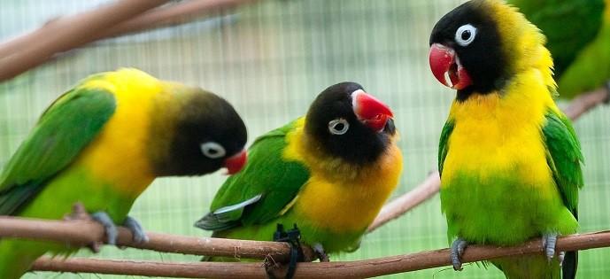 agapornis personata ancestrales color verde con cabeza negra