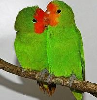 agapornis pulluarius hembra y macho