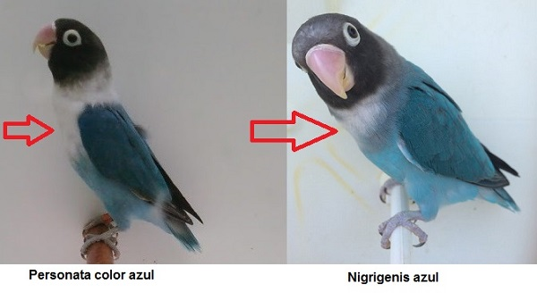 diferencia nigrigenis y personata color azul