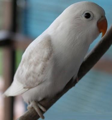 inseparable fischer albino color blanco