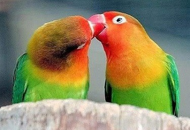 pajaros del amor agapornis inseparables