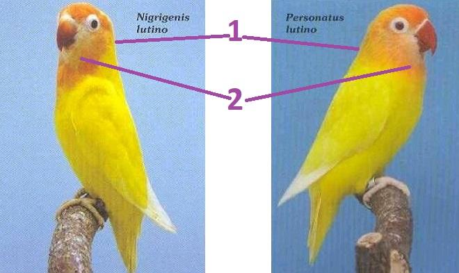 diferencia agaporni amarillo nigrigenis con personata