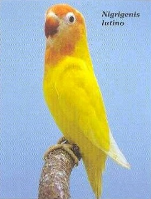 Nigrigenis amarillo