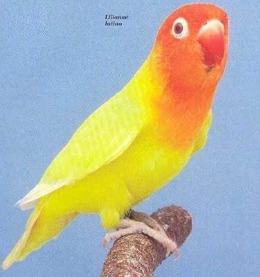 Lilianae amarillo