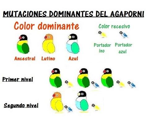 mutacion dominante colores