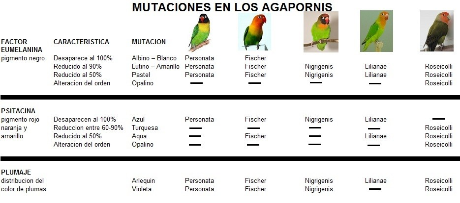 mutaciones en cada raza de agaporni