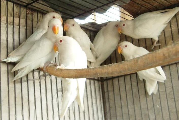 agapornis blancos o inseparables albinos