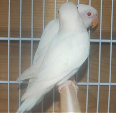 caracteristicas agaporni blanco albino