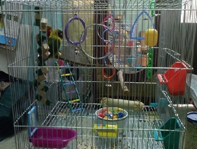 inseparable con juguetes en jaula