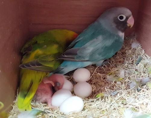 agapornis con huevos y cria de inseparable