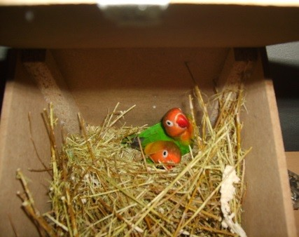 agapornis construyendo nido interior