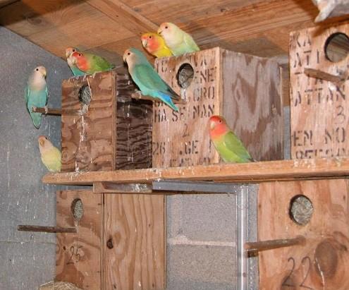 cuantos nidos poner en aviario agapornis