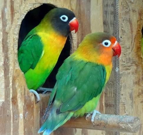 entrada nido madera para inseparables