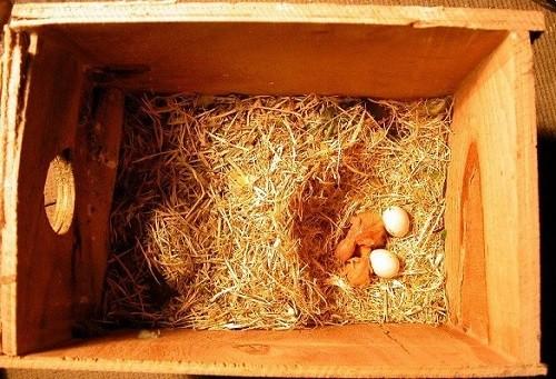interior nido inseparables con polluelos y huevos