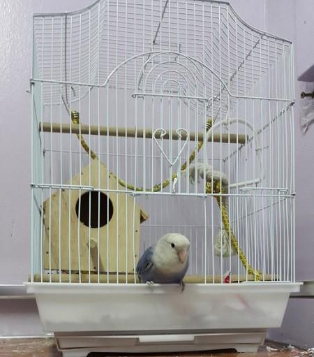 como atraer un agaporni a su jaula